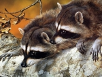 2 Raccoon Seting bye Each other