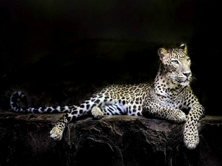 The beauty of the leopard - spotted, leopard, cat, hunter