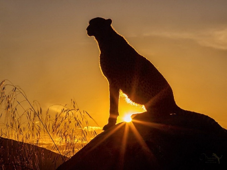 At days end - Cheetah, Africa, sunset, cat, hunter