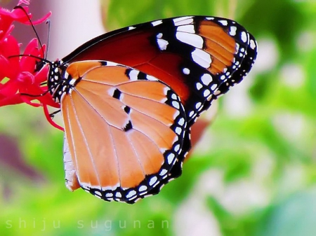 Spotted beauty - spotted, butterfly, flower, beauty, garden