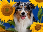 ***  Dog and sunflowers ***