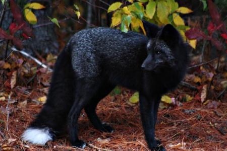 A Black Fox Other Animals Background Wallpapers On Desktop Nexus Image 1461166