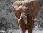 Elephant in Namibia, Africa