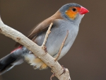 Red-Beaked Bird