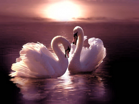 Sunset - birds, sunset, swans, pair