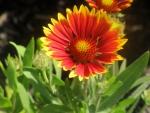 Yellow tipped orange flower