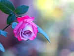Rose of my day