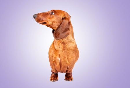 Dachshund on purple - pet, purple, dachshund, dog