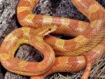Albino Corn Snake 2
