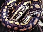 Carpet Python 2