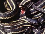 Garter Snakes 2