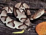 Juvenile Copperhead 2