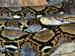 Reticulated Python 2