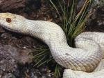 Albino Pine Snake 2