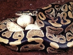 Python With Eggs F2