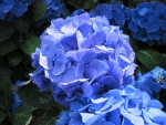 The Blue Hydrangea at the garden
