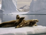 ~Seals @ North Pole~