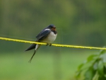 Barn Swallow in the Pouring Rain