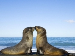 Two Seal Kiss