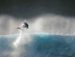 Dolphin jumping out of the wave.