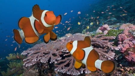 Clownfish and Beautiful Corals - Fish, Nature, Underwater, Oceans, Corals