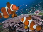 Clownfish and Beautiful Corals