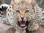 leopardo, gato salvaje
