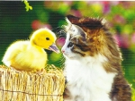 Tabby kitten with a duckling