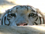 Peek A Boo ~ Siberian Tiger Edition