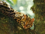 Ocelot in Mossy Tree 1