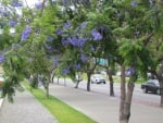 jacaranda in bloom
