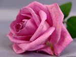 A Very Pretty Pink Rose