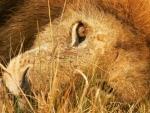 LYING DOWN LION