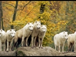 Pack of white wolfs