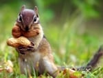 squirrel with a nuts