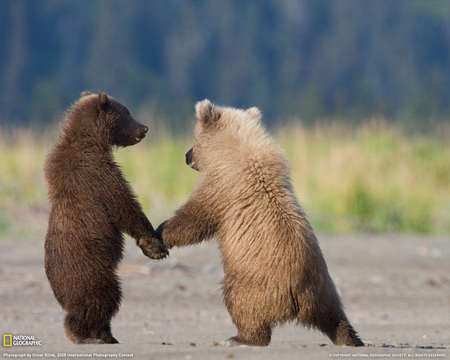 grizzly bear cubs - grizzly, bear, cubs, cute