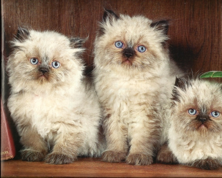 Three siamese siblings - cute, paws, siamese, siblings, kittens