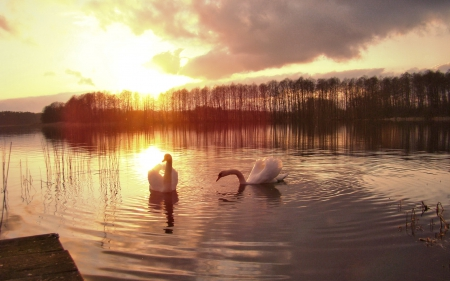 Swan Lake - Lake, beautiful, Swans, Nature