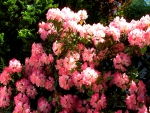 ♥ Lovely Garden Rhododendrons ♥
