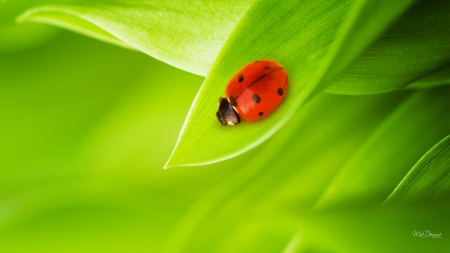 Just One Ladybug - ladybug, leaves, green, fresh, insect, bamboo