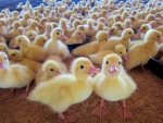 Three days old baby ducks
