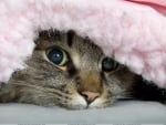 Cat under the blanket