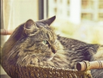 Tabby cat in a basket