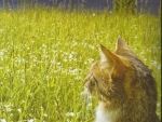Tabby cat looking over the field