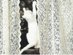 White kitten climbing on curtains