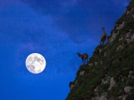 mountain goats climbing by the light of the moon