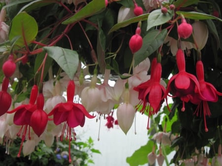 Flowers garden in greenhouse 25 - red, photography, green, Flowers, white, fuchsia, leaf