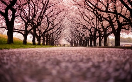 Sakura Path Other Abstract Background Wallpapers On Desktop