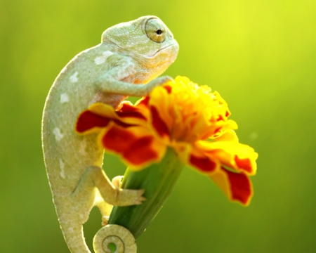 Chameleon - flower, close up, reptiles, chameleon