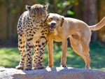 Labrador and Cheetah